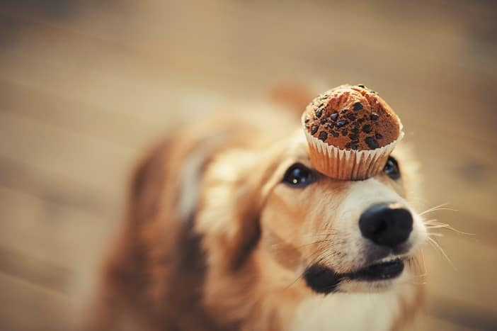 Disciplined dog trying to balance a cupcake on its nose.